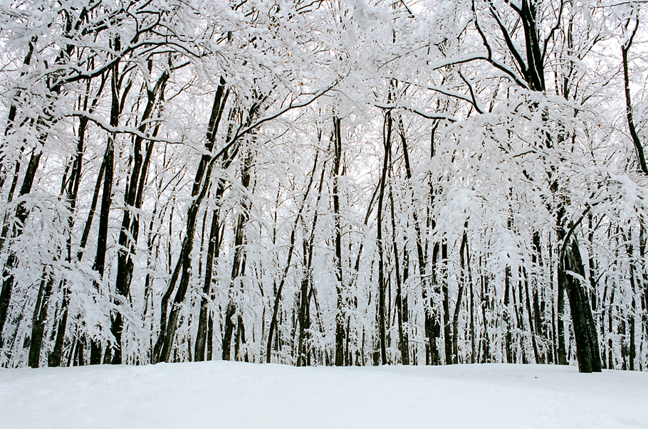 """Bijin Bayashi"" Japanese Beech Forest in mid-March"