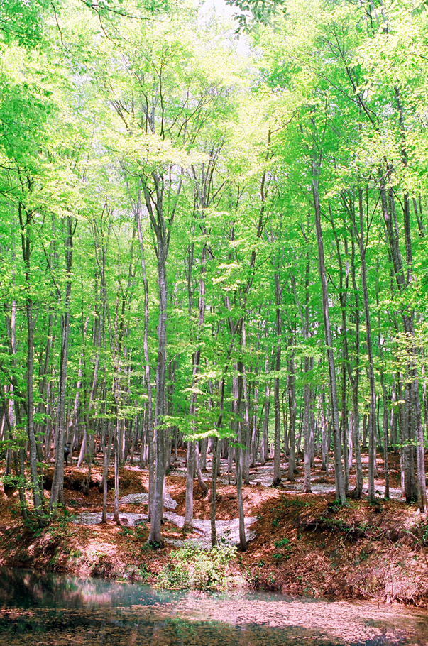 """Bijin Bayashi"" Japanese Beech Forest in the Spring"